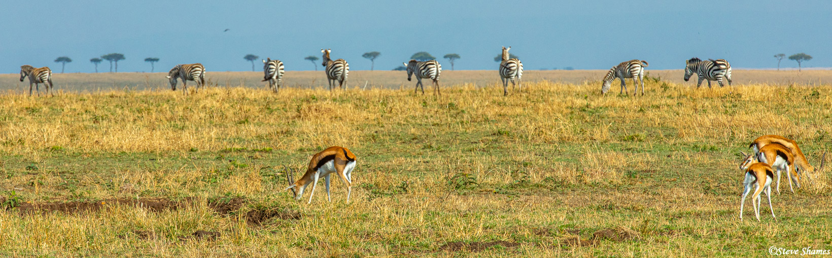 """This is a very """"Serengeti plains scene"""" with the Thompsons gazelles, the zebras, and the flat top Acacia trees in the distance..."""