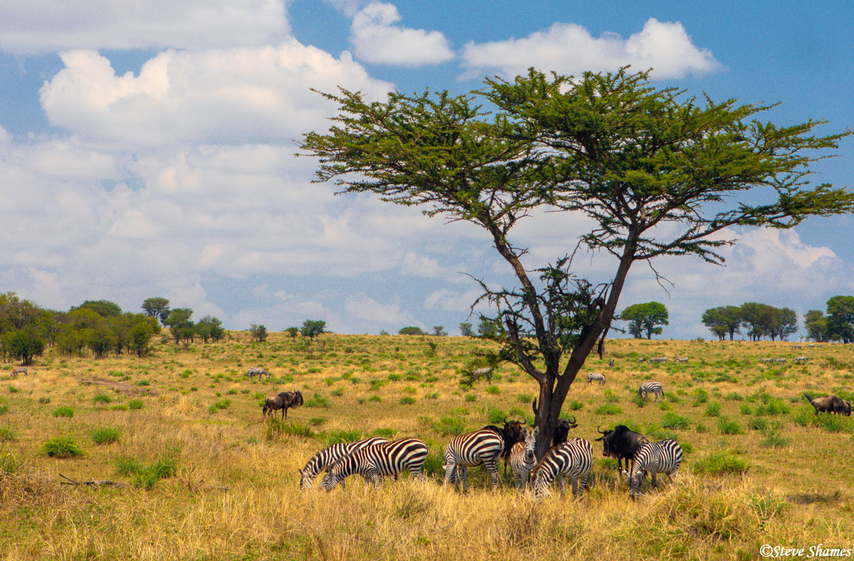 A typical scene on the Serengeti plains. Animals seeking shade.