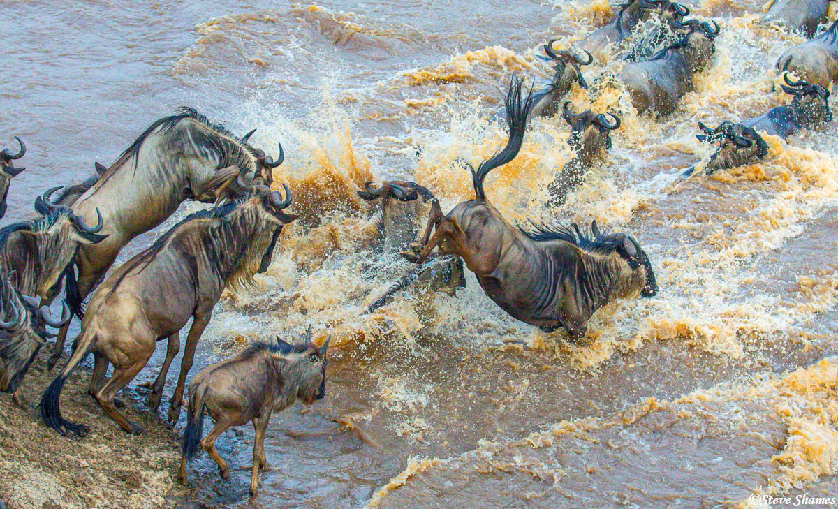Splashing down in the Mara River. Its strange that they jump in, when they could just walk in.