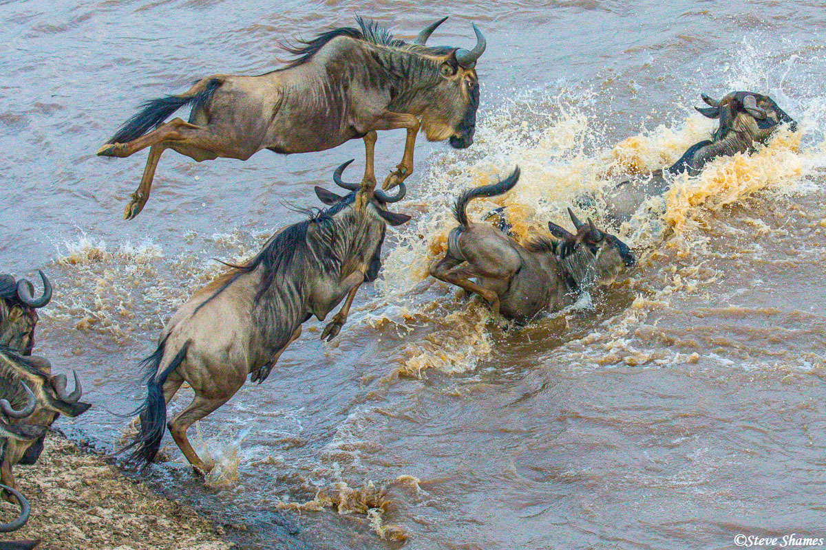 Wildebeest do not just walk into the water then start swimming, they jump into the water! Some are quite graceful.