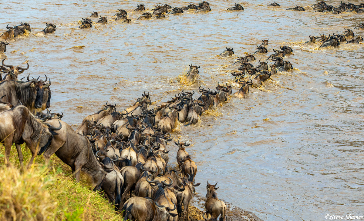 The great migration in progress. Every day more and more wildebeest cross the Mara River, then they move on to the greener grass...