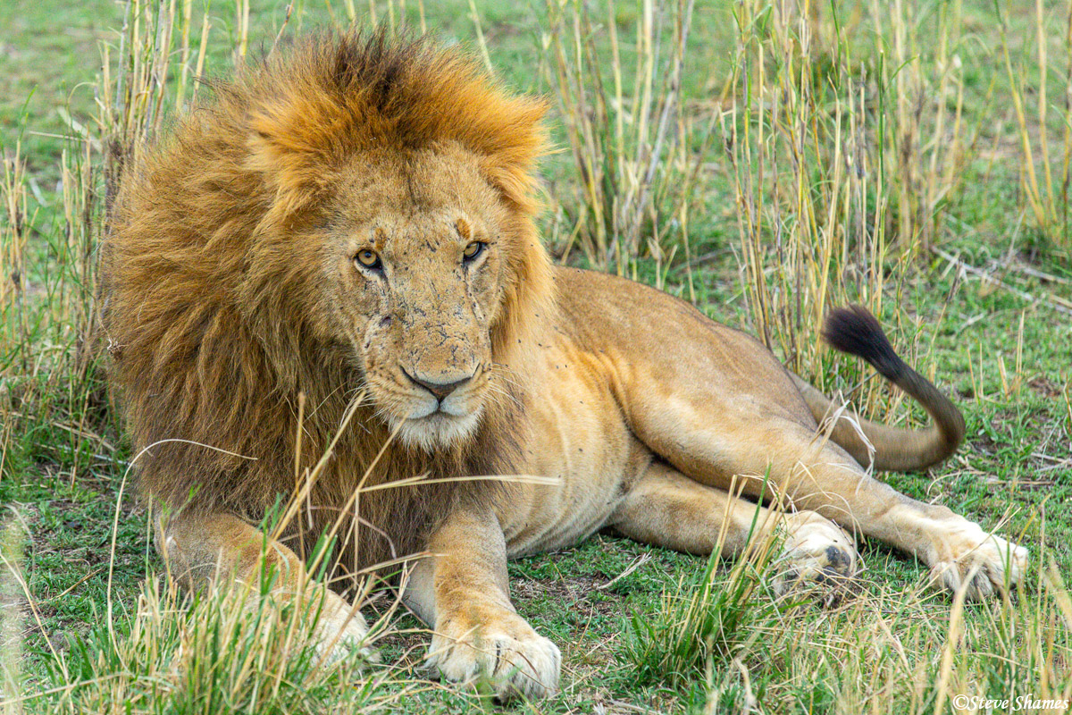 Here is the pride male. That is the term for the reigning male of a pride. Lots of lion prides have two or three pride males...