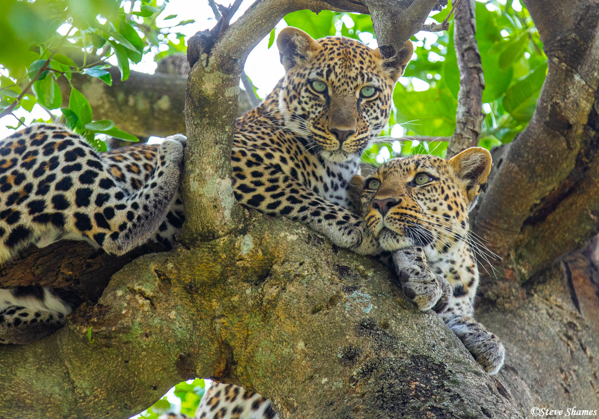 two leopards, solo animals, serengeti, africa, photo