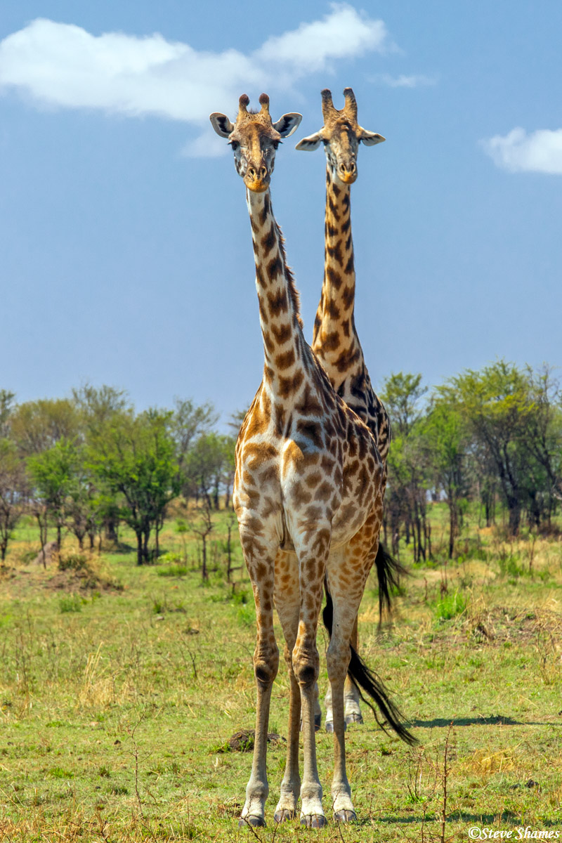 At just the right angle - this appears to be a two headed giraffe.