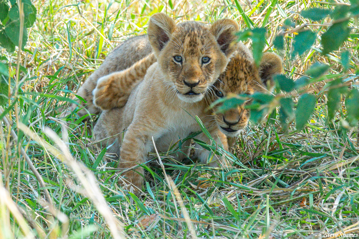Two little lion cubs keeping an eye on us.