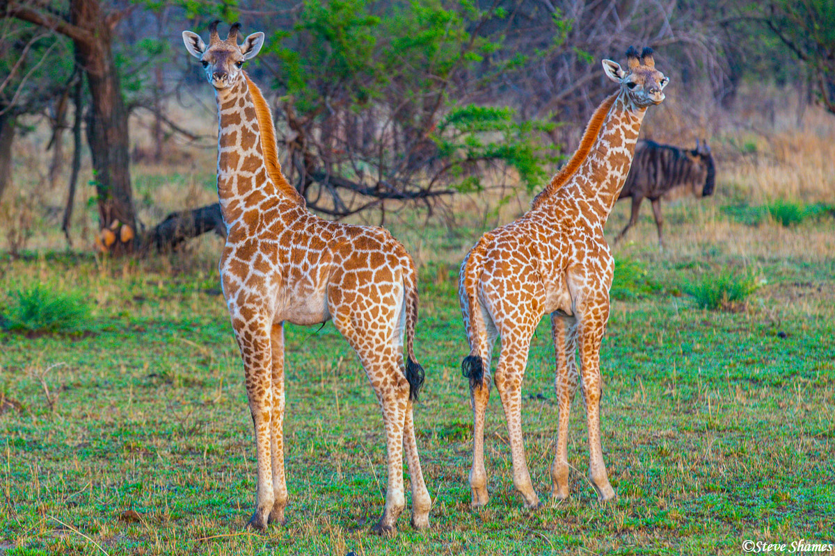 Two young giraffes in an interesting pose.