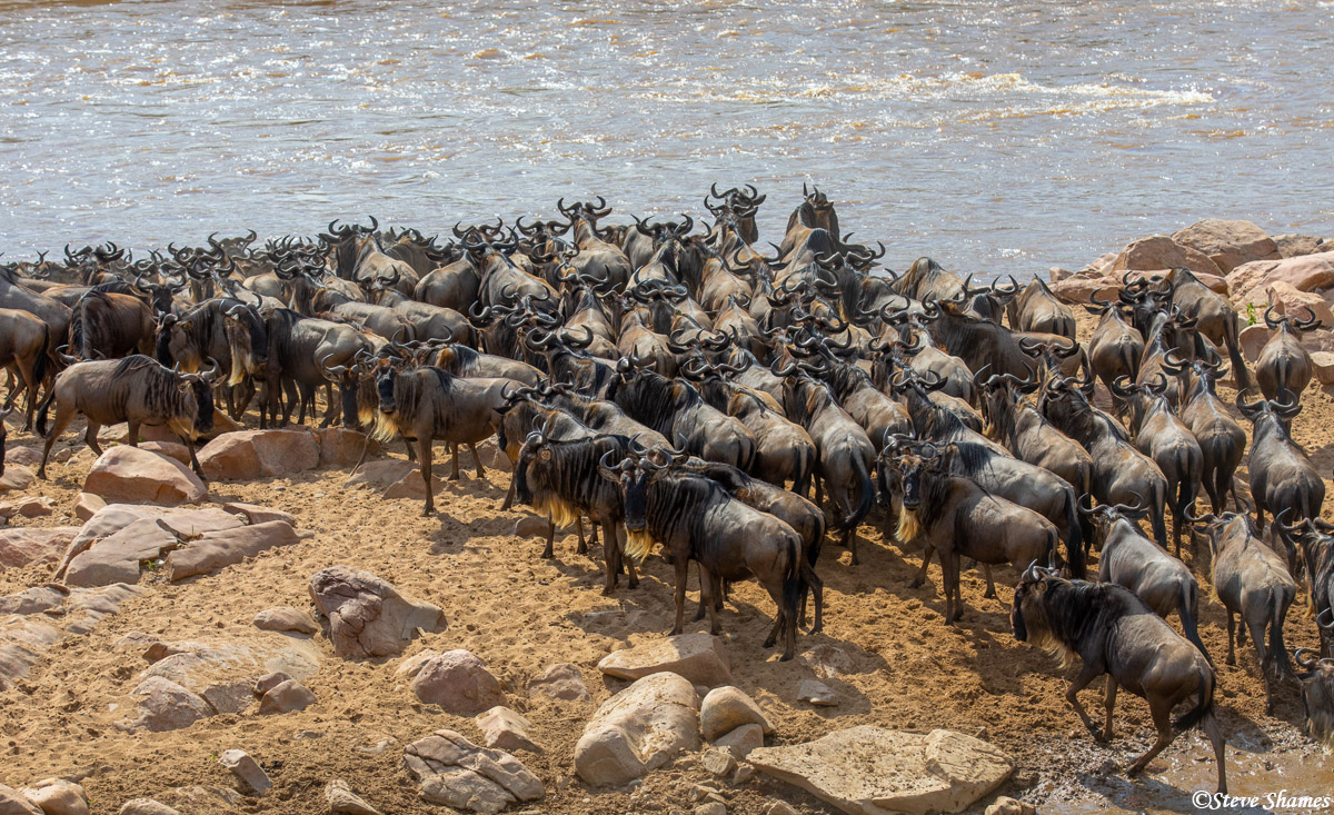 Wildebeest waiting to cross the Mara River. They gather, mill around a little, then one goes, then they all follow!