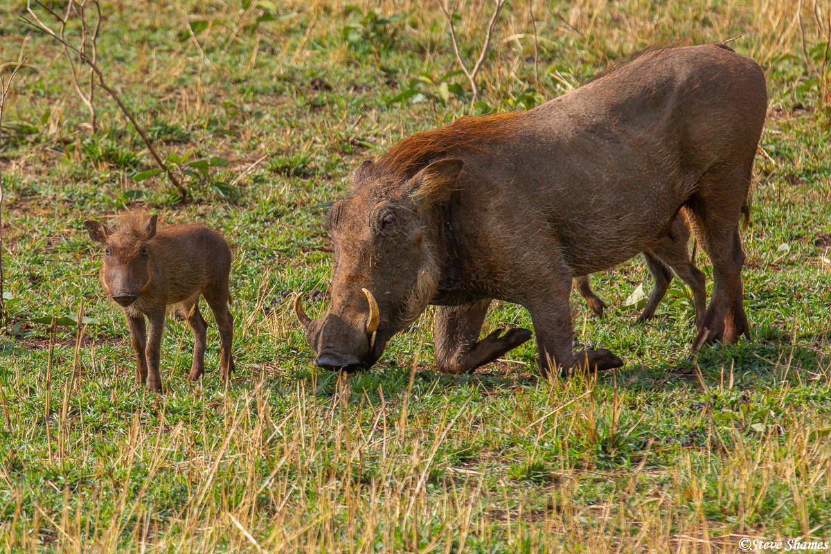 Warthogs have a peculiar way of eating, they kneel on their front legs.