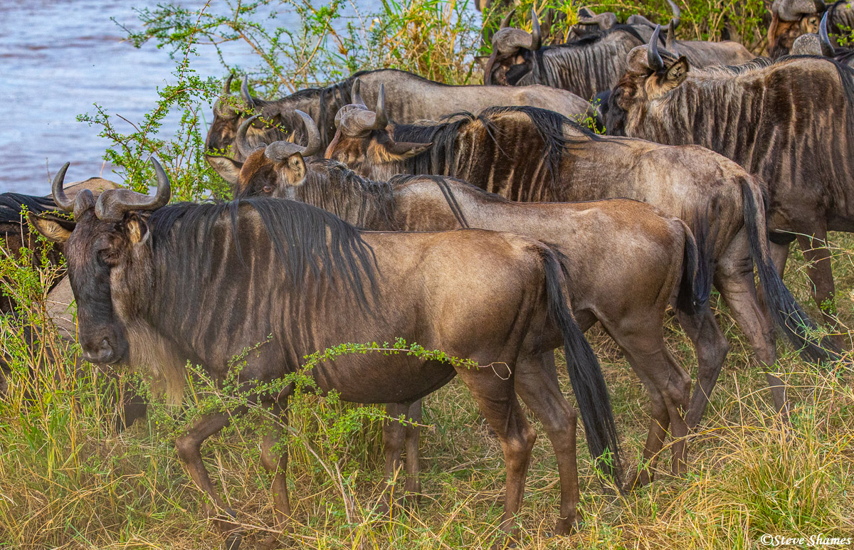 wildebeest, river, serengeti national park, tanzania, photo