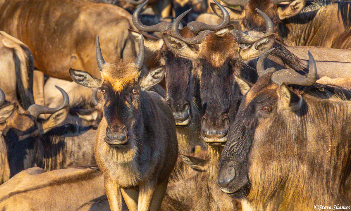Wildebeest calf, surrounded by its elders.