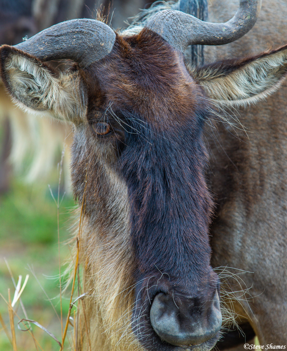 Here is a close up of just one of the several million wildebeests around the Serengeti.