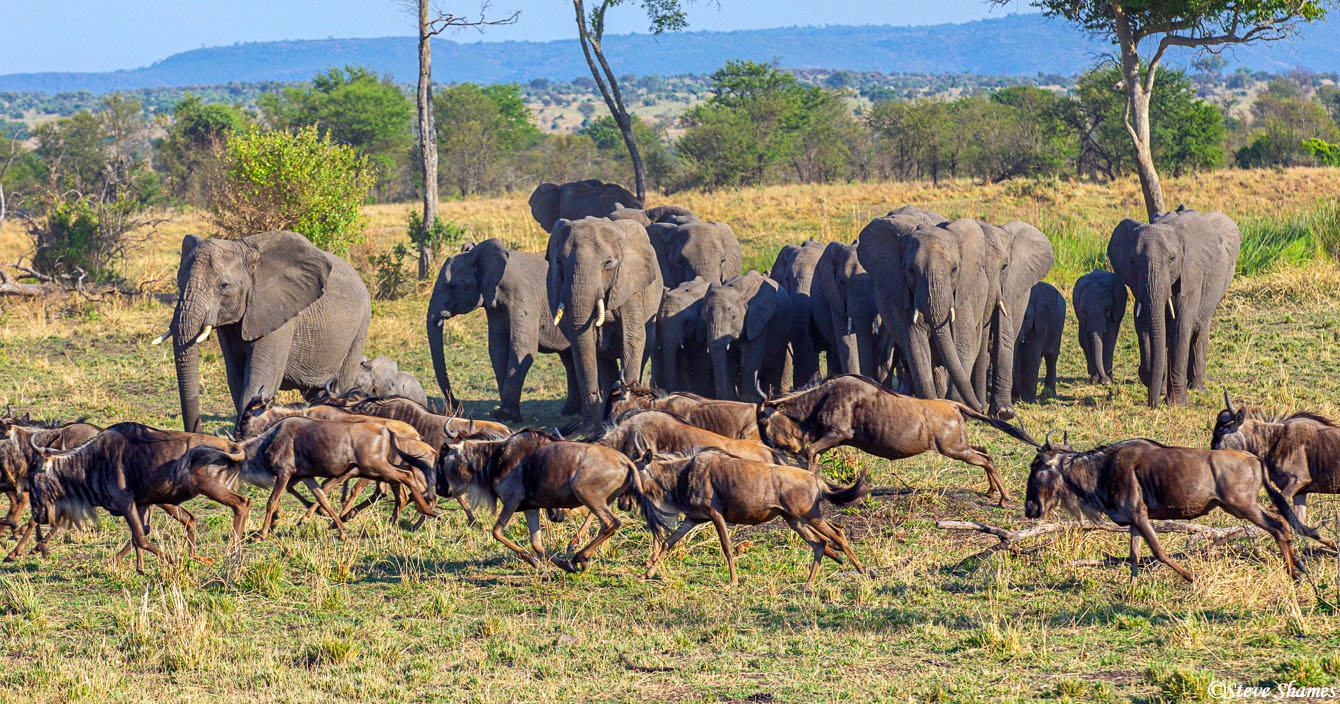 """Elephants giving the right of way to a herd of wildebeest. There should be a sign saying """"Wildebeest Crossing"""""""
