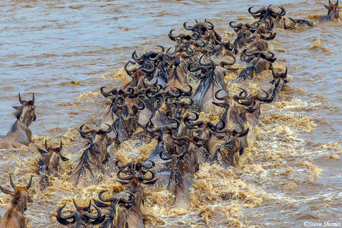 A hoard of wildebeest crossing the Mara River.