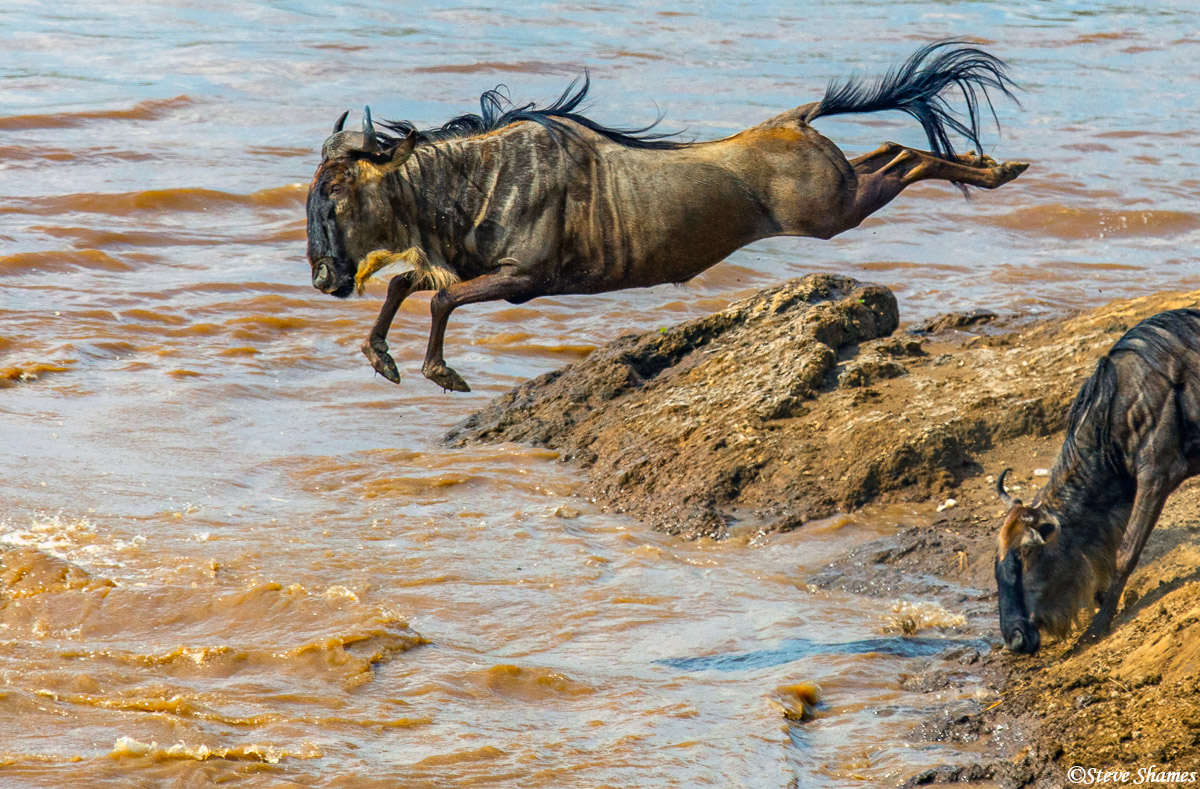 This wildebeest is showing great form as it dives into the river. There should be a wildebeest Olympics!