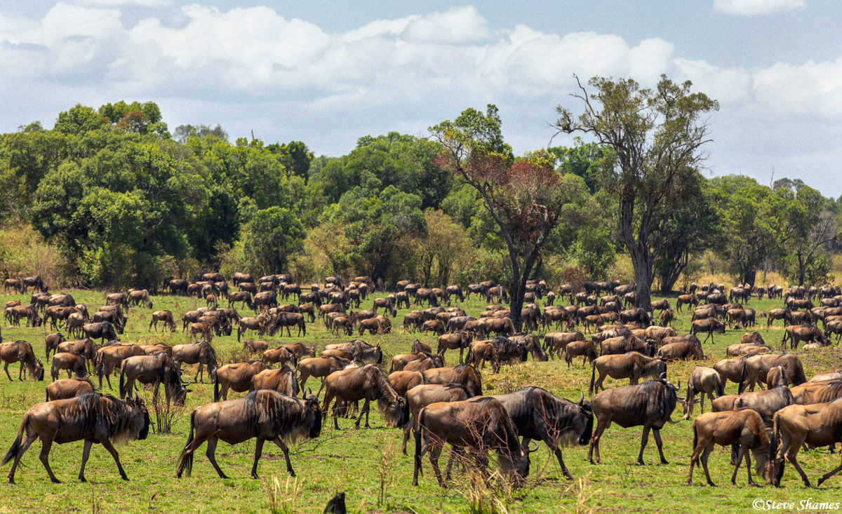Wildebeest grazing around the northern Serengeti. In a few weeks there will be all gone up to the Masai Mara.