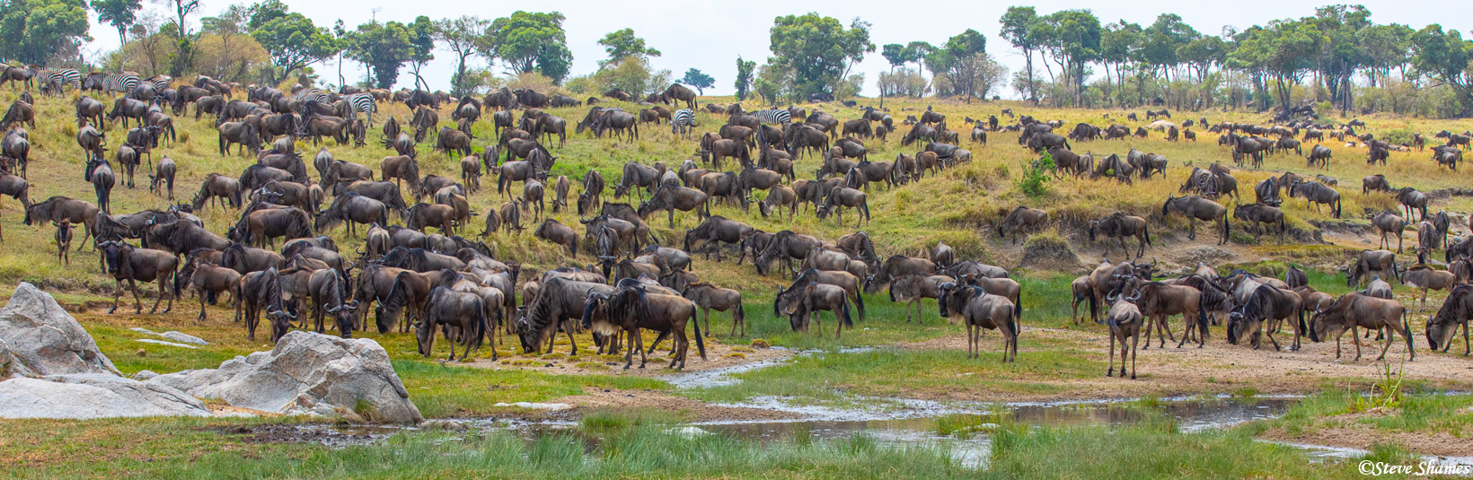 A hillside covered with a wildebeest herd.