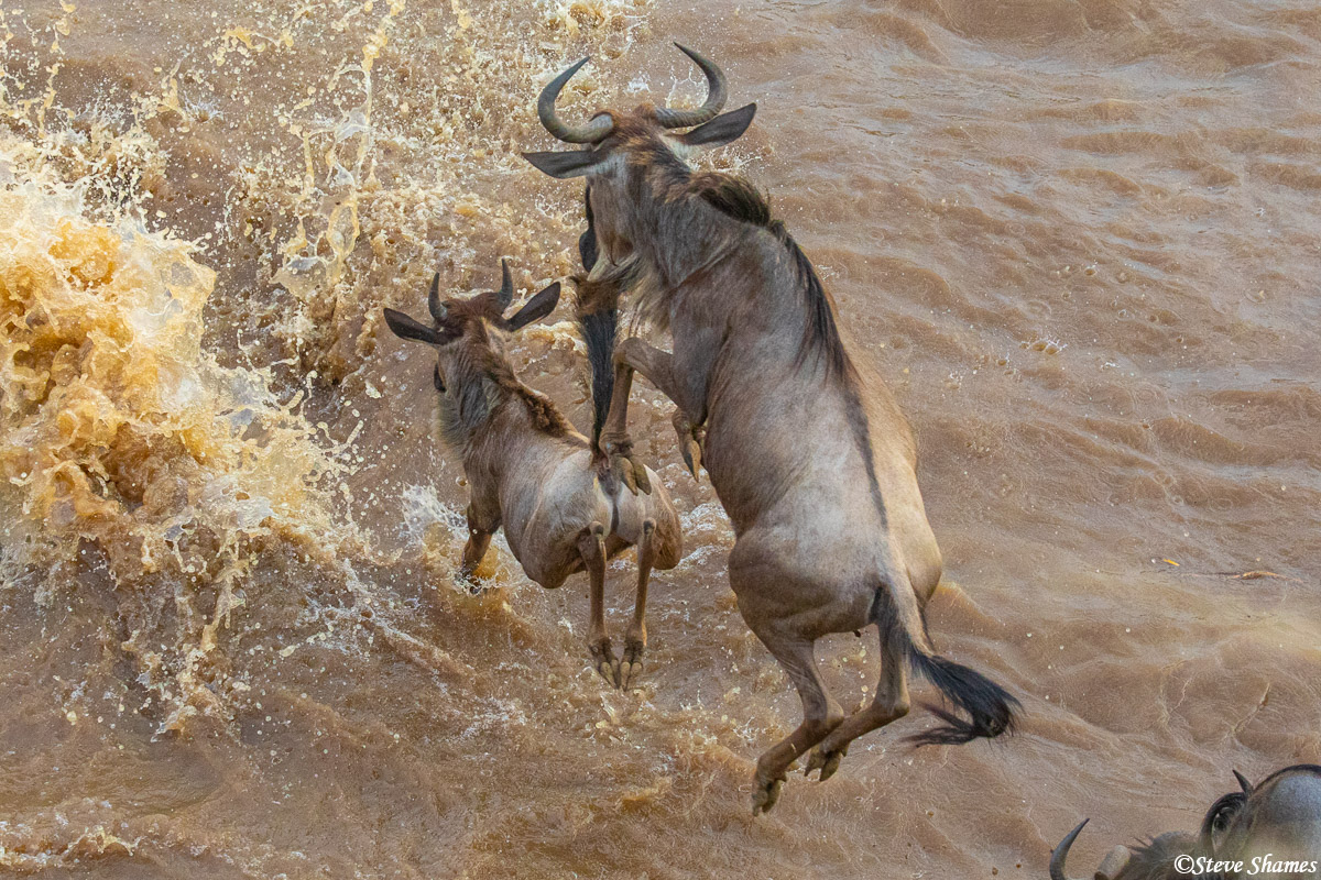 We were on the cliff, then the wildebeest ran right below us to jump into the river. It was quite a sight to see them jump in...