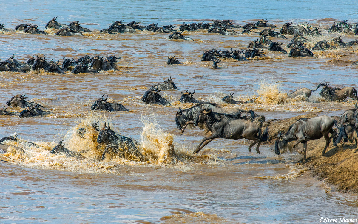 Its a free for all when the wildebeest are crossing the Mara River.