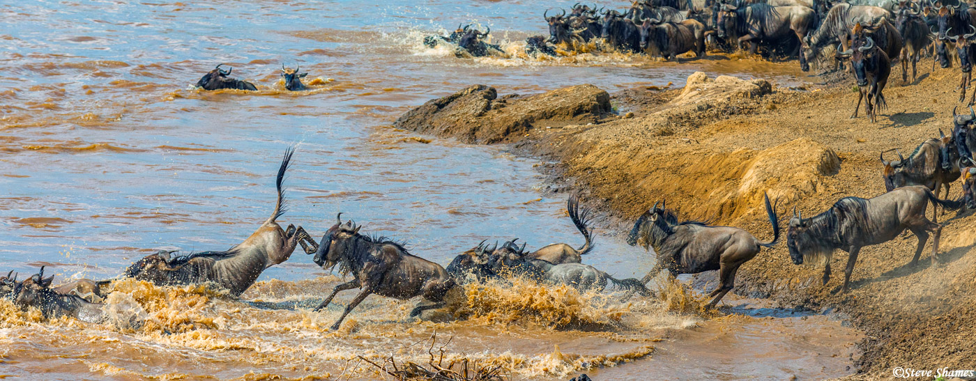 Its quite a hectic situation when the wildebeest are jumping and splashing into the river. They have a panicky mood about them...