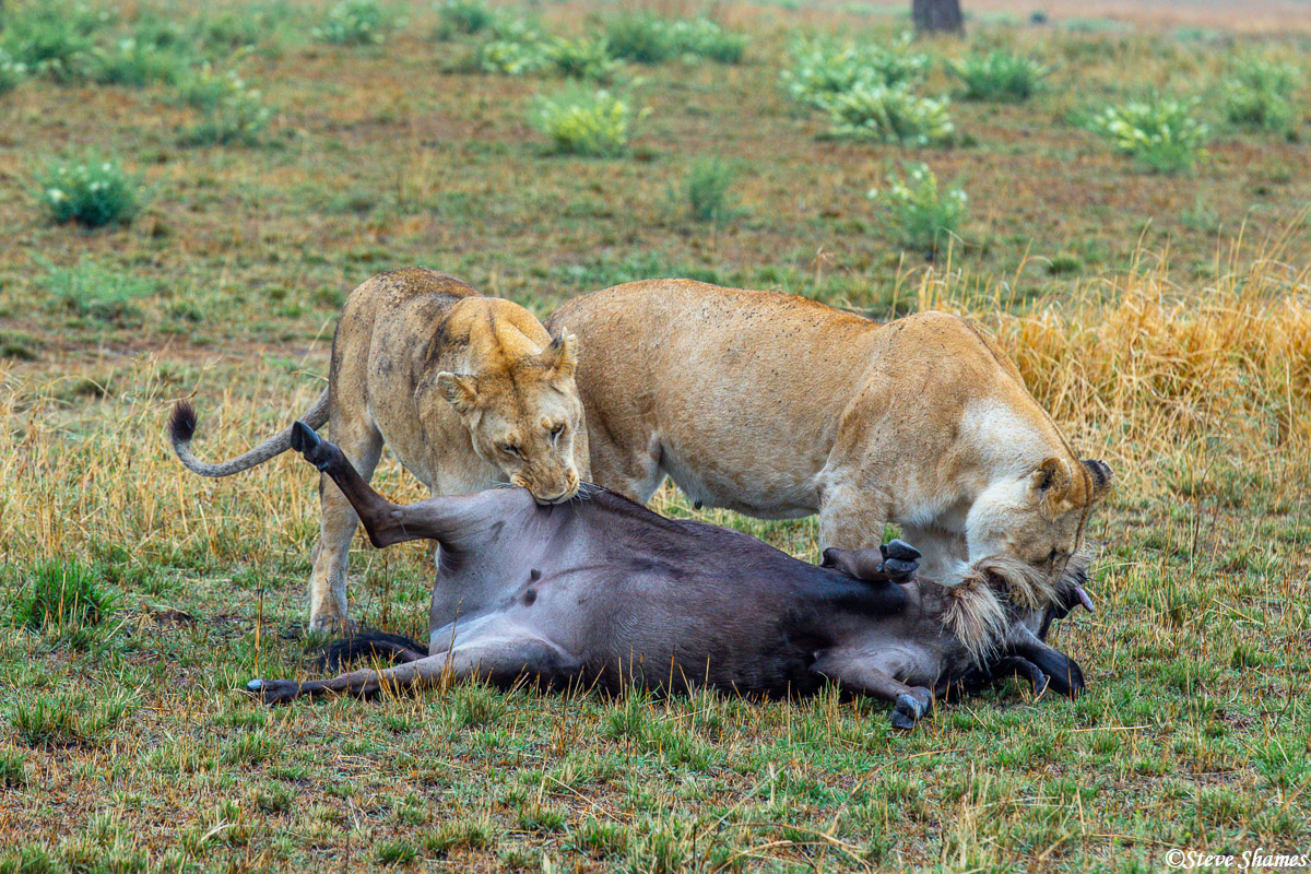 The lions in the process of finishing the wildebeest kill.