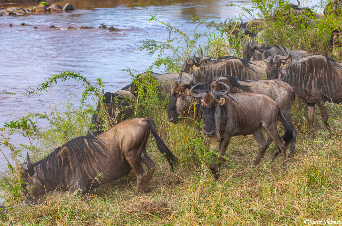 Wildebeest gathering at the riverbank, ready to climb down and cross the Mara River.