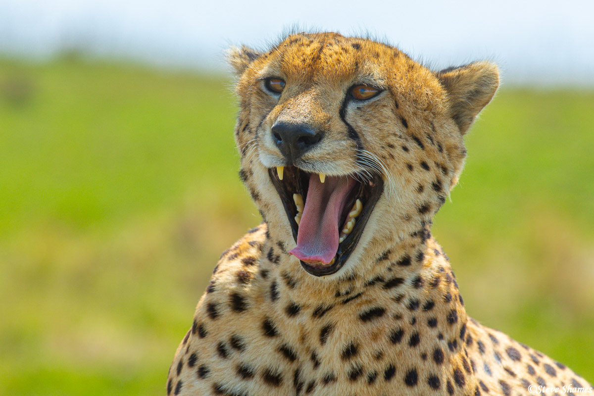 This cheetah looks like its laughing.
