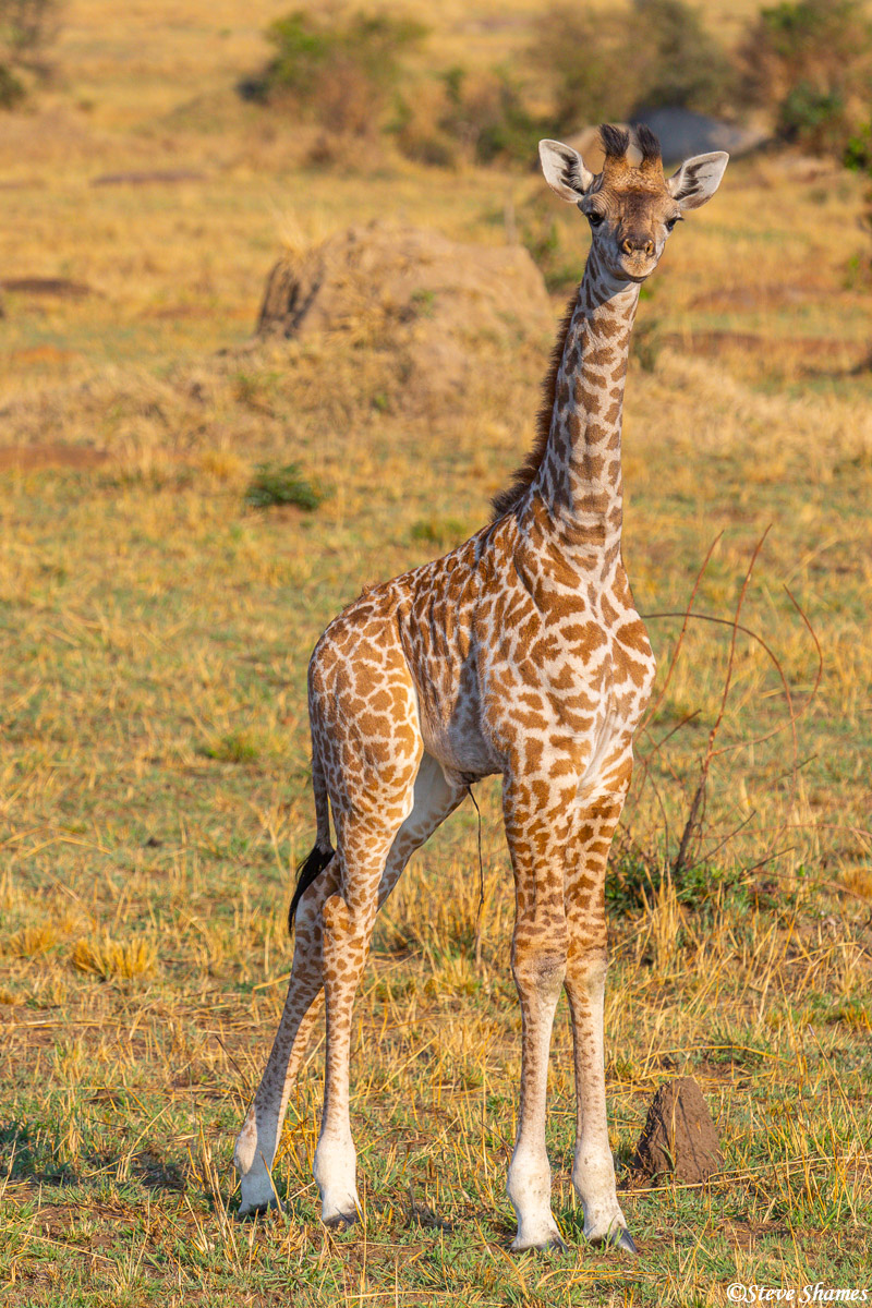 Here is a young Masai Giraffe. Masai giraffes are the most common in east Africa. This guy still has his umbilical cord hanging...