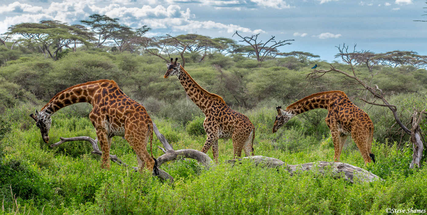 troop of giraffes, serengeti, national park, tanzania, photo