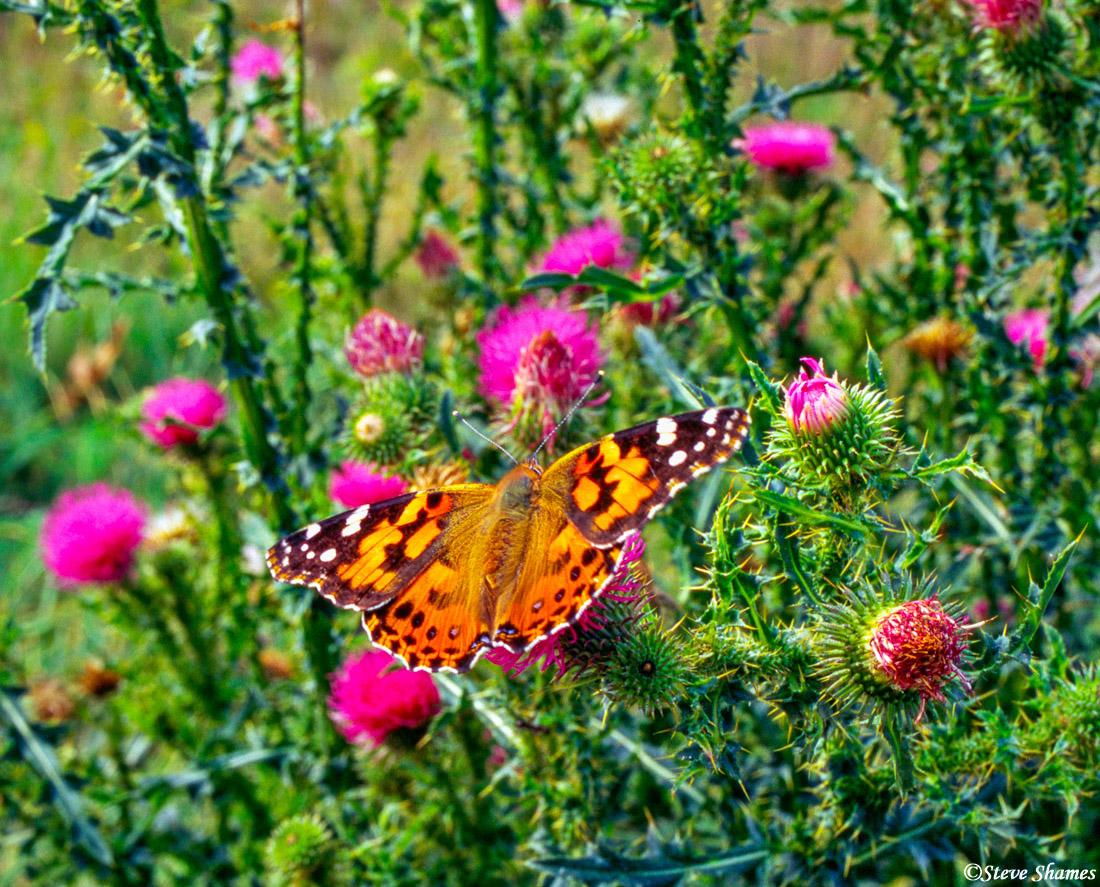 shenandoah national park, virginia, butterflies, thistle bush, photo
