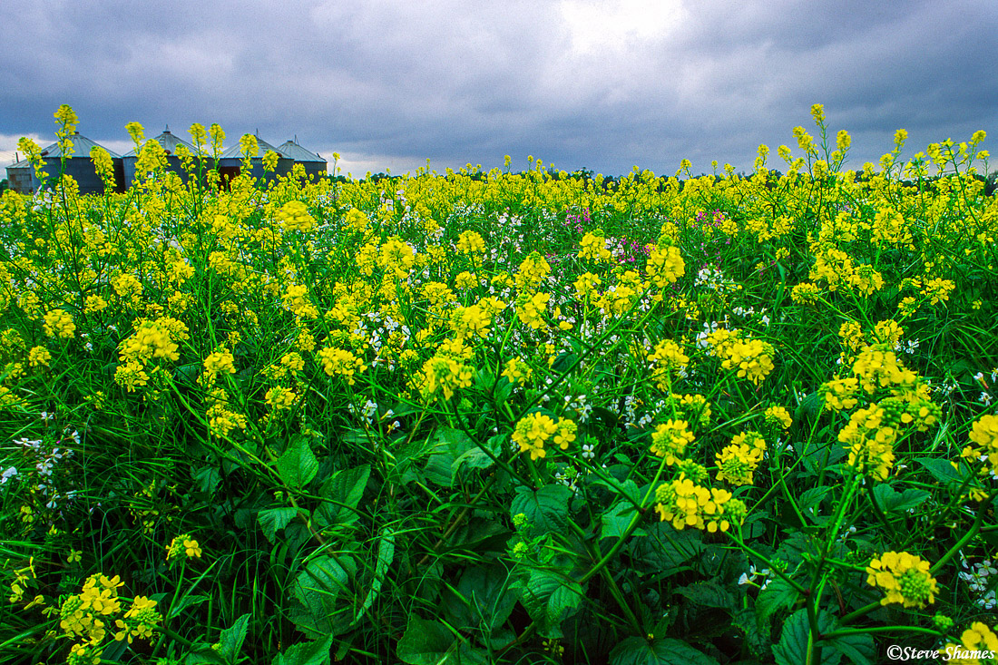 The agricultural lands are just overrun with the wild mustard plants in the spring.