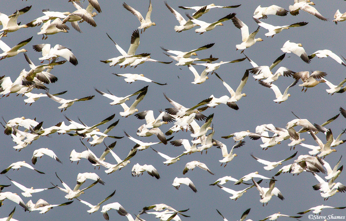 One of the snow geese in the top center is making like a B-52, and dropping some little bombs!