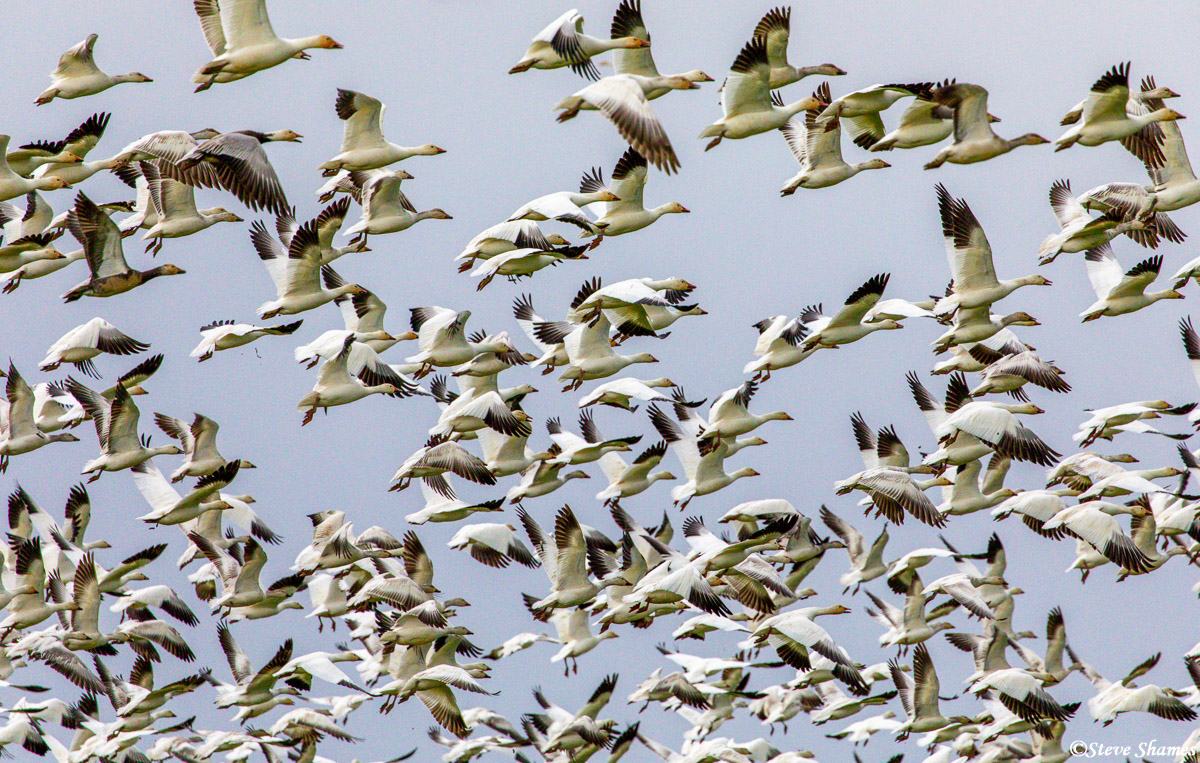 It was amazing to watch these large flocks of snow geese in flight.