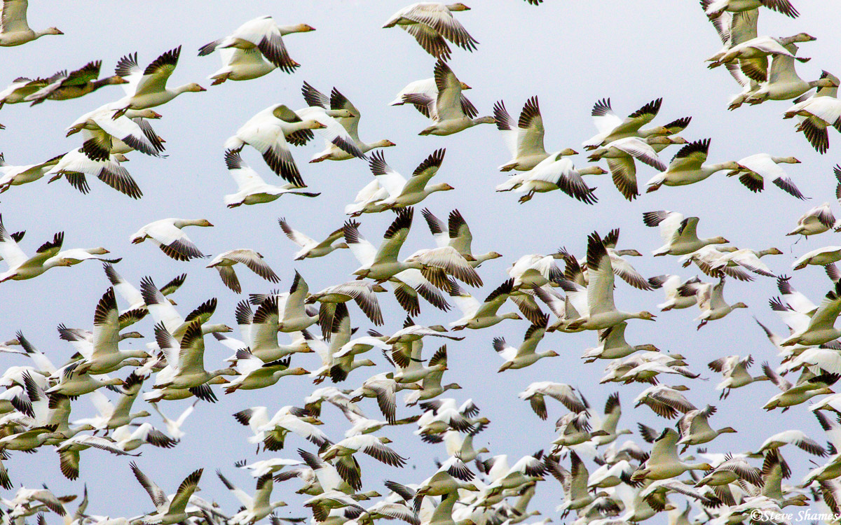 This is the time of year for large flocks of snow geese in the Sacramento Valley wetlands. They are fun to watch.