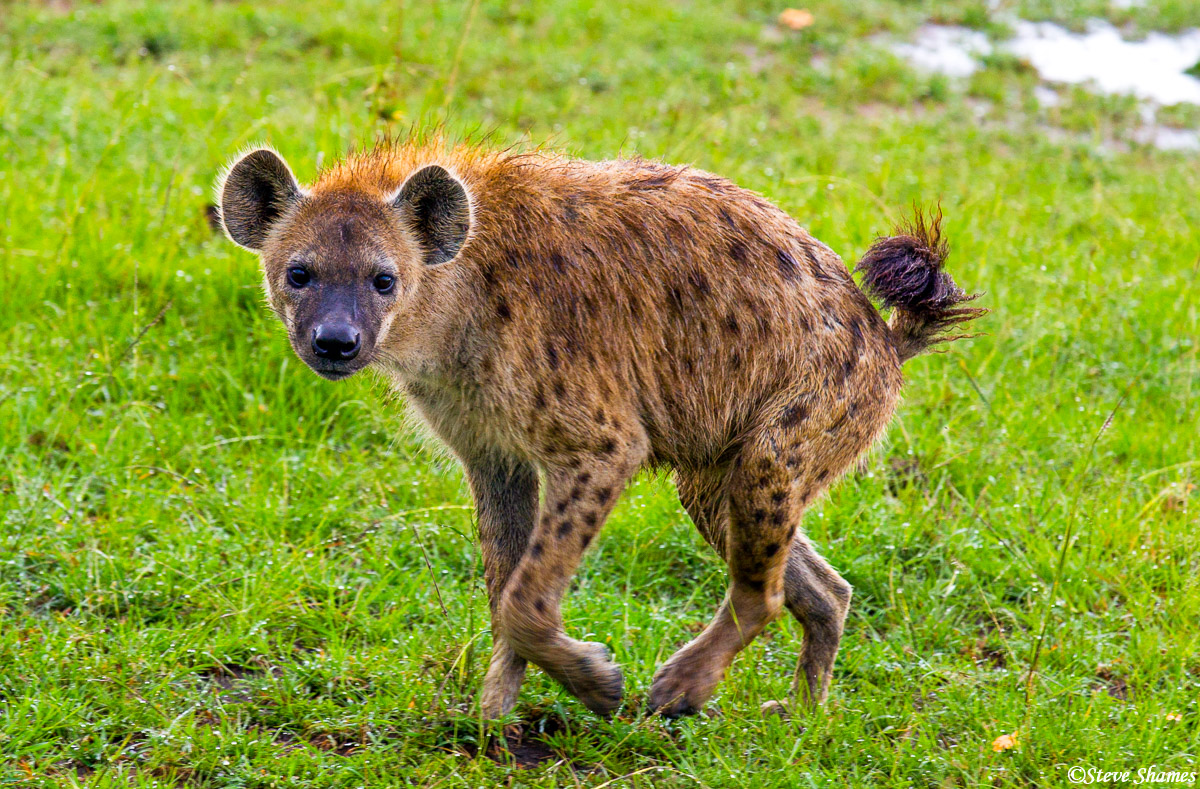 spotted hyena, masai mara, national reserve, kenya, photo