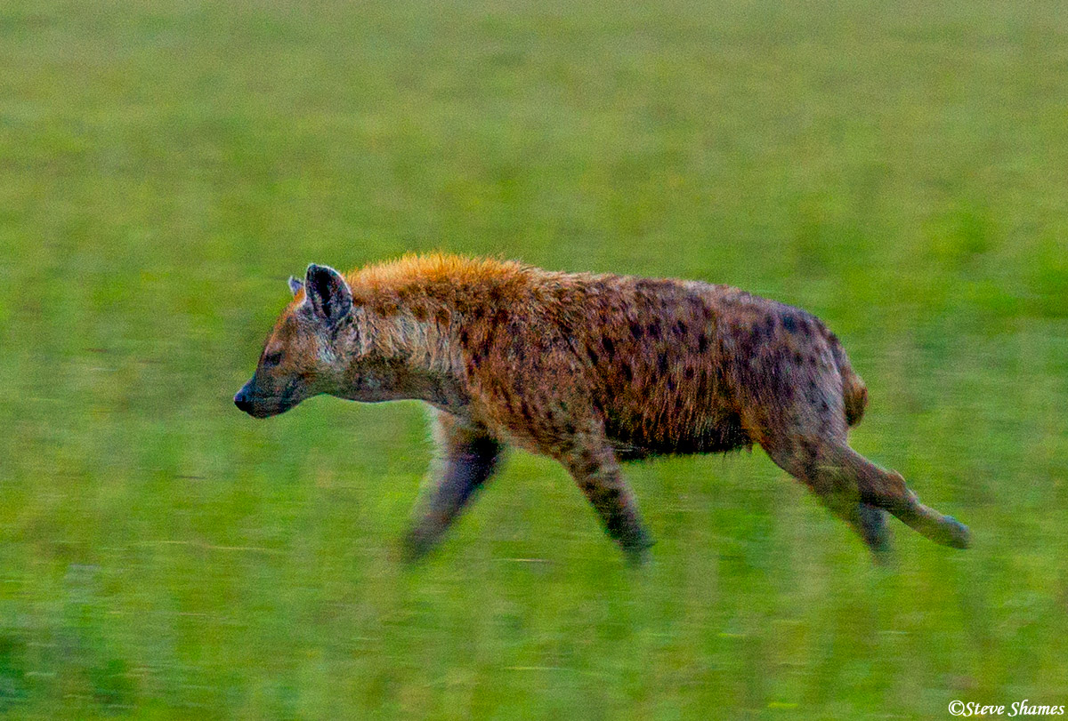 running hyena, masai mara, national reserve, kenya, photo