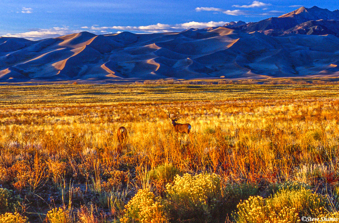great sand dunes sunset, national park, colorado, deer, photo