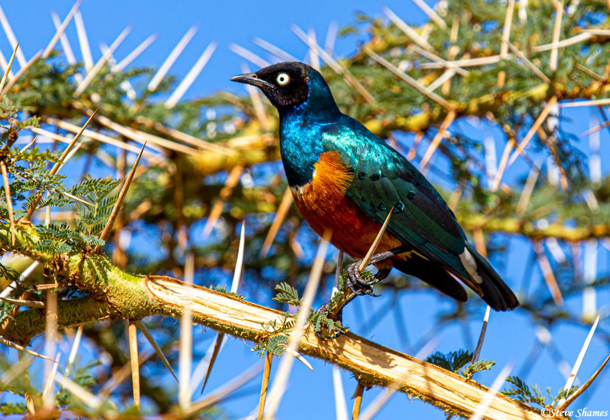 superb starling, ngorongoro crater, tanzania, photo