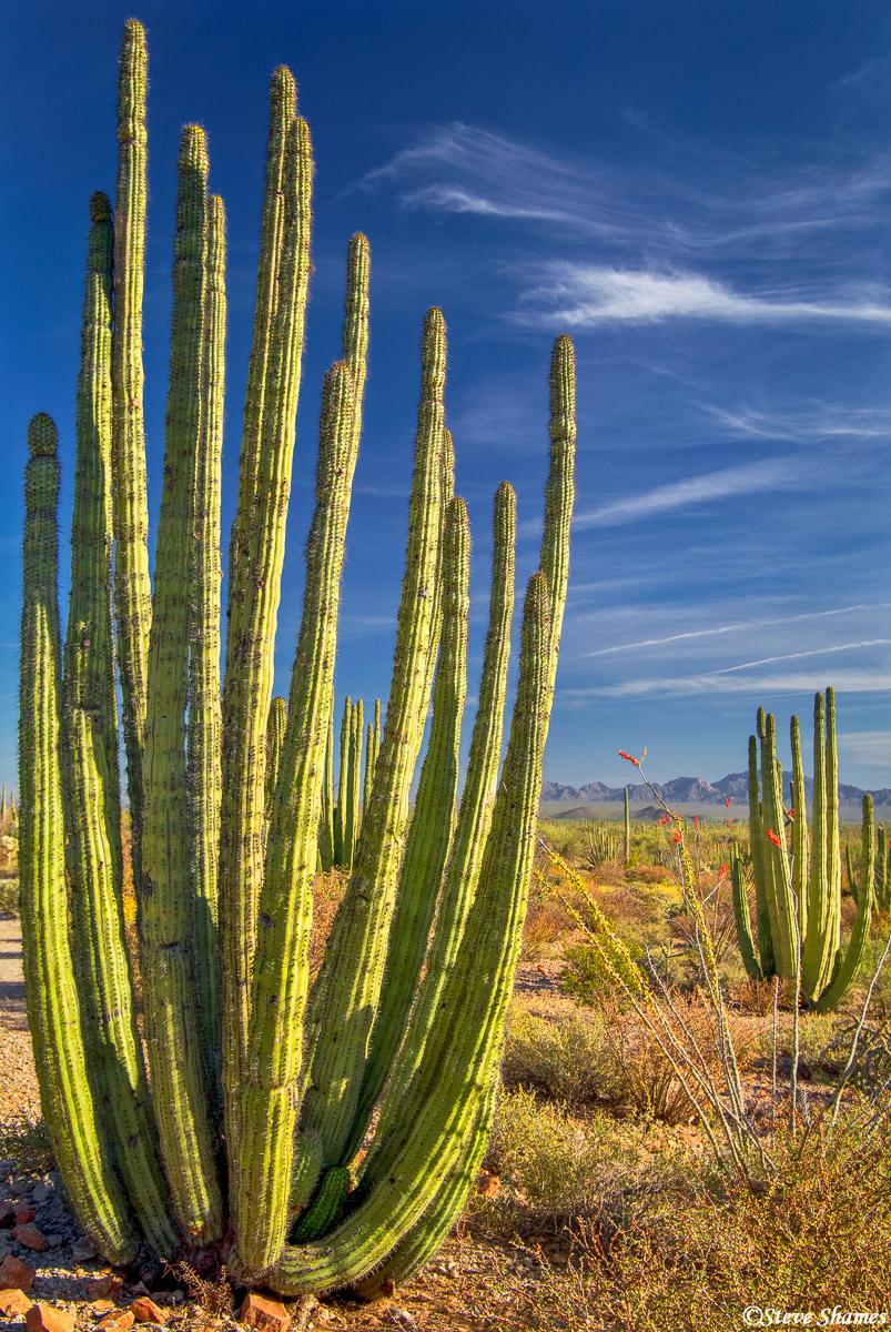 organ pipe, cactus, national monument, arizona, multi armed, photo
