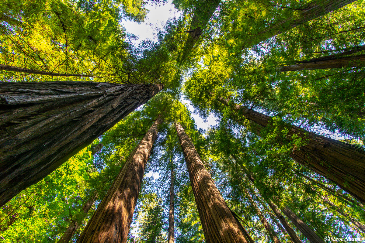 One way to show the immensity of these tall trees, is to lie on the ground and point up with your best wide angle lens.