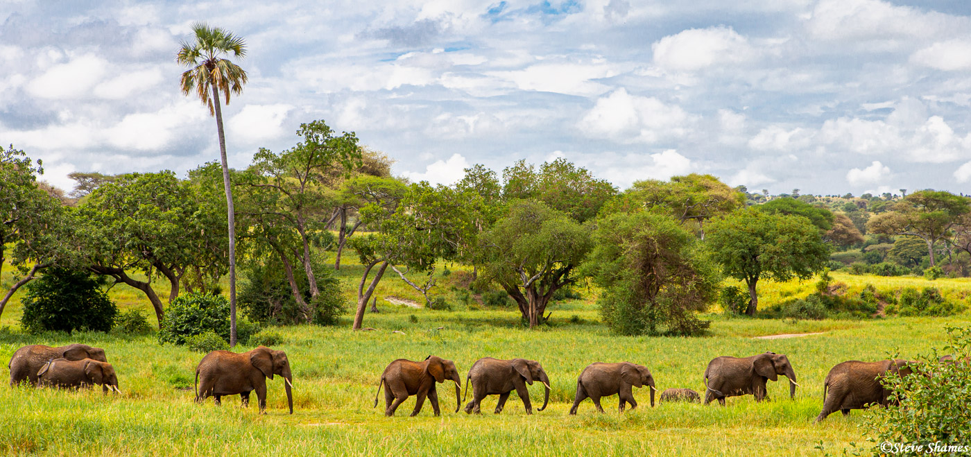 line of elephants, tarangire, national park, tanzania, photo