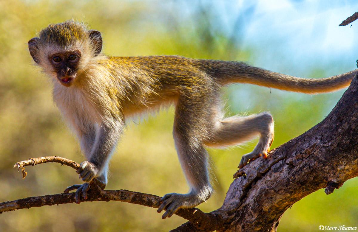 tarangire, national park, tanzania, monkey, photo