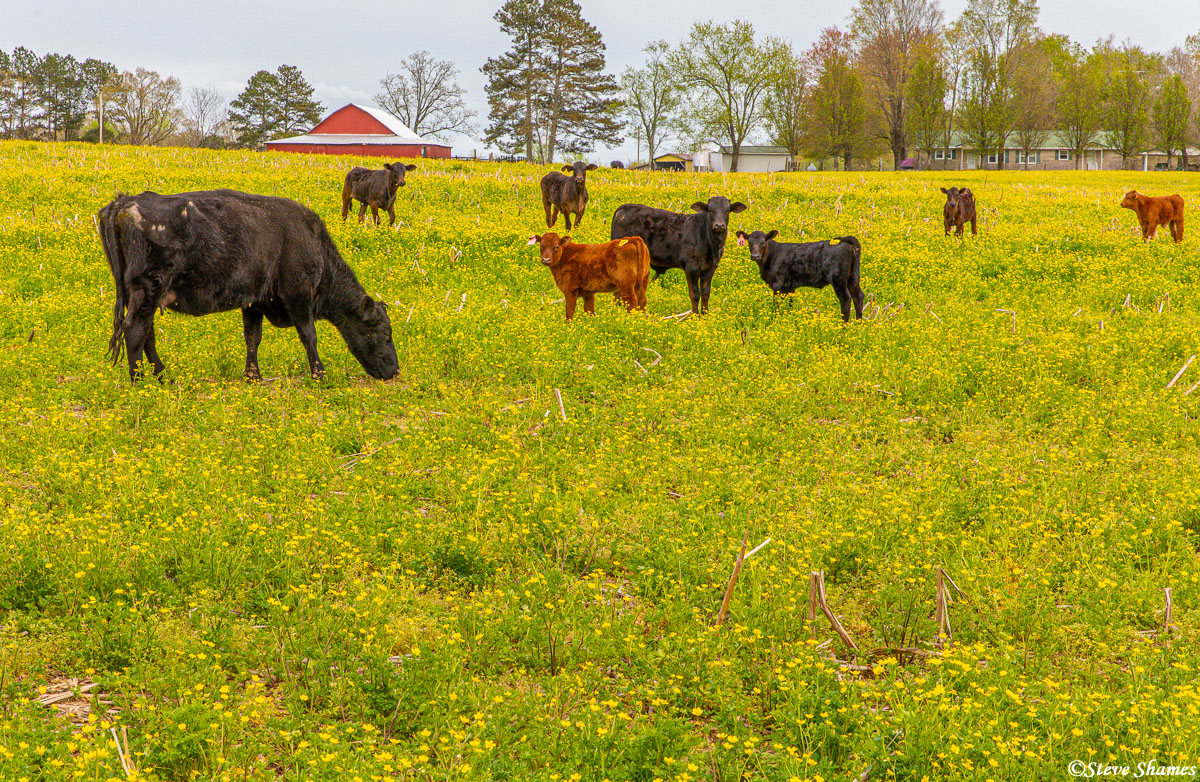 Along the Parkway, some Tennessee cows in a bright yellow field.