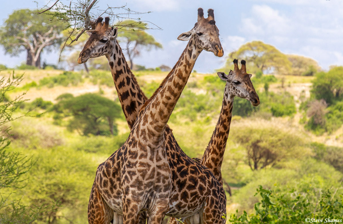 tarangire giraffes, national park, tanzania, photo