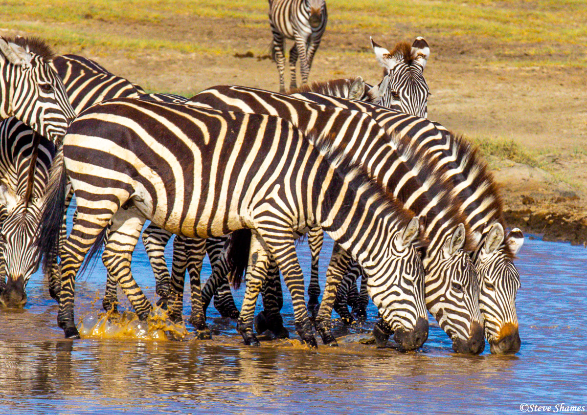 I like the way these zebras perform synchronized drinking.