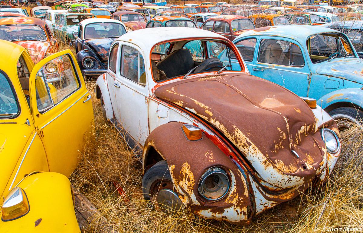 This is Tom Tom's Volkswagen junkyard in Moab Utah. I have never seen so many junked Volkswagen beetles in one place before!