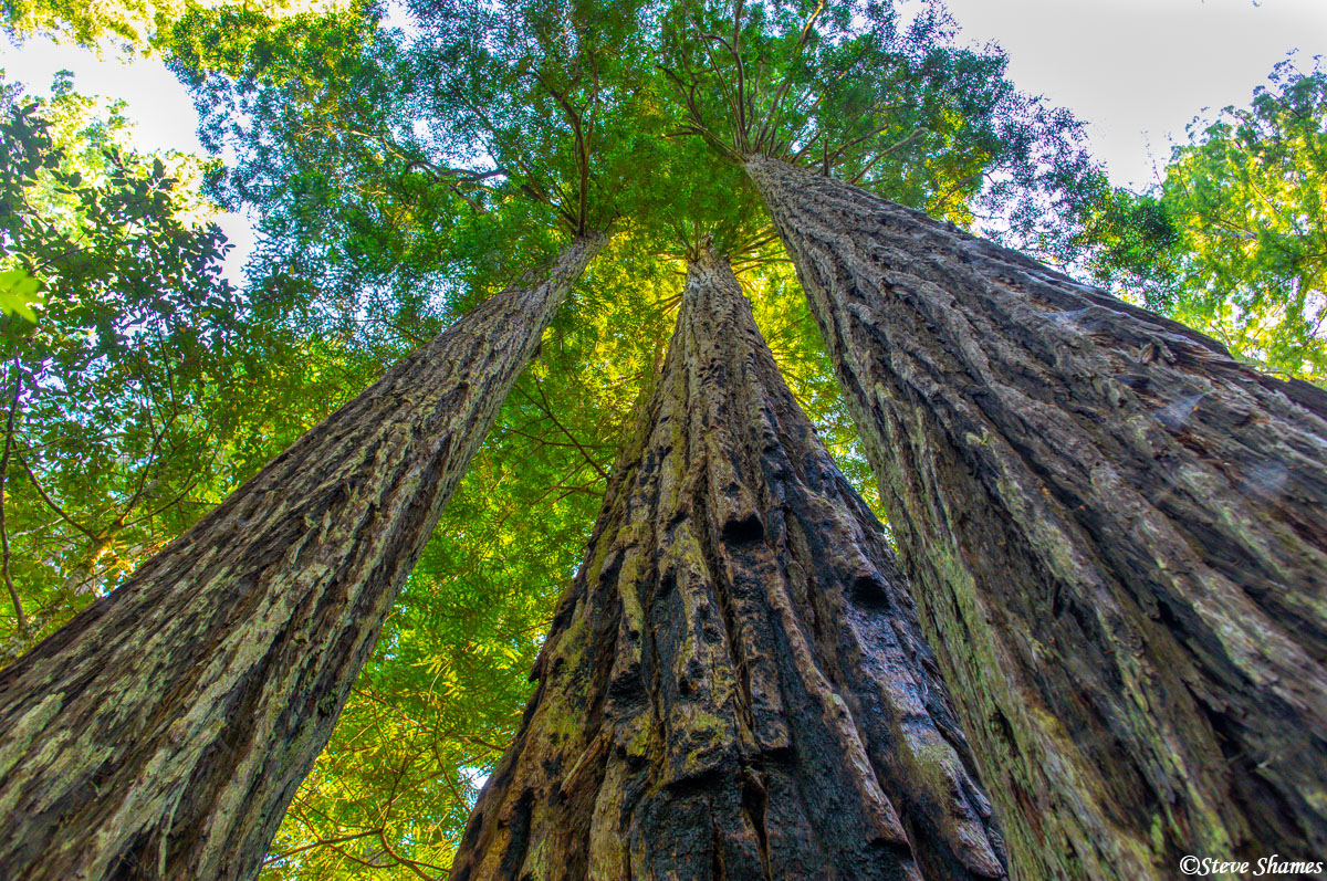The tallest living things on Earth, the towering redwood trees.