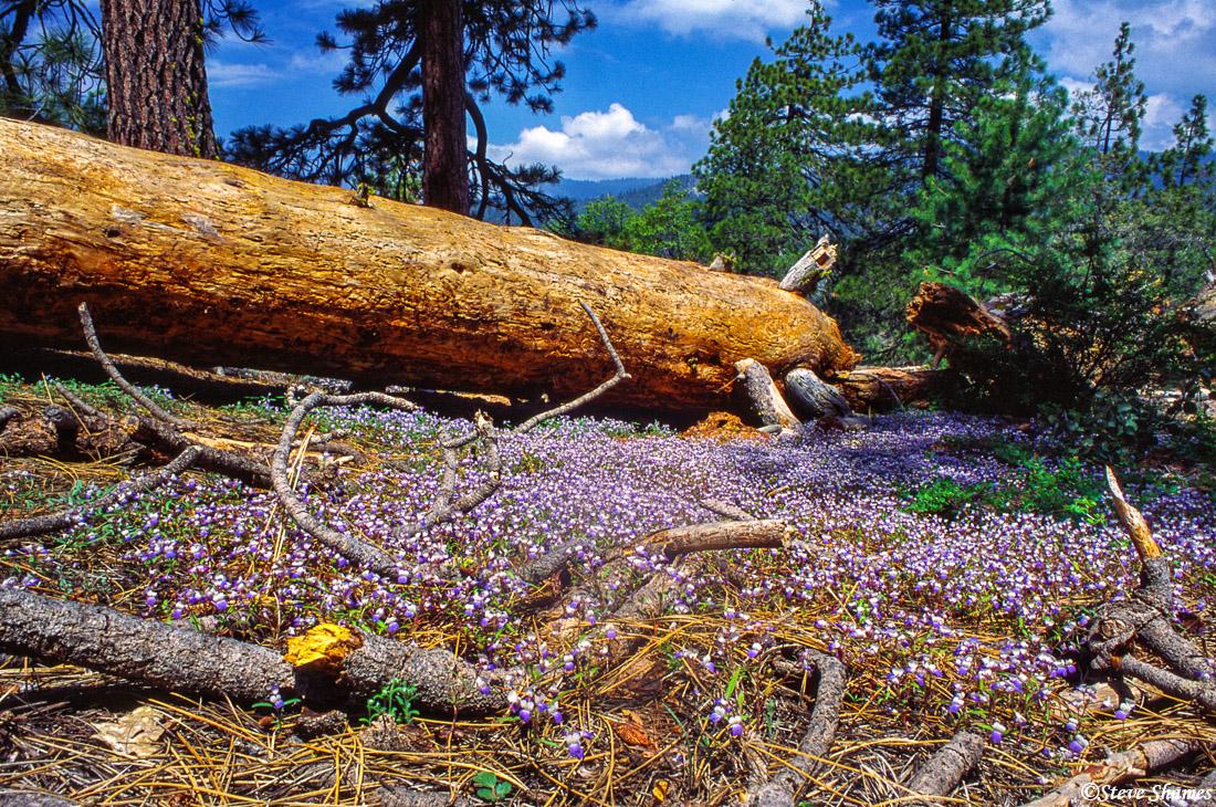 sequoia national park, colorful flowers, fallen log, photo