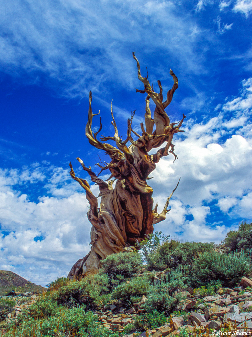 ancient, bristlecone pine forest, twisted tree, photo