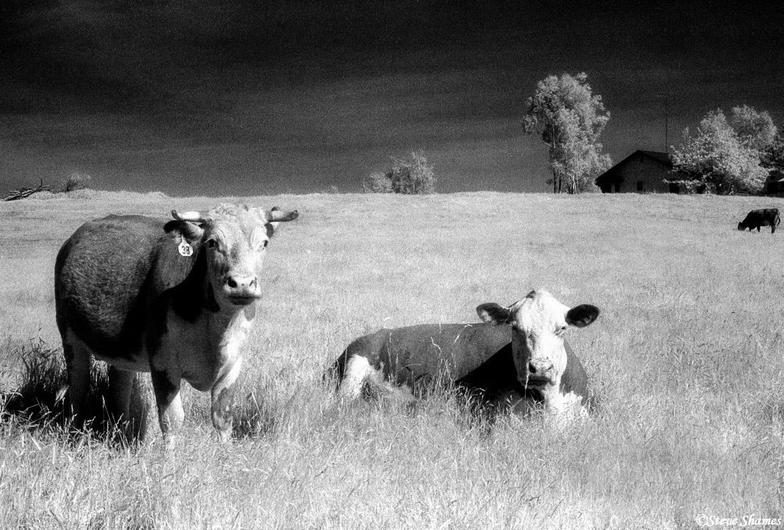 sacramento valley, california cows, content, photo