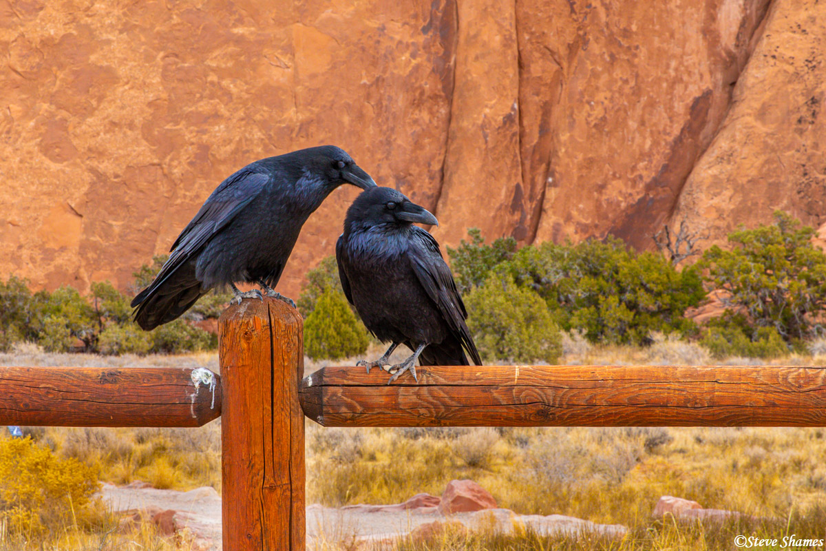 A couple of crows grooming each other. I thought this was well worth a picture.